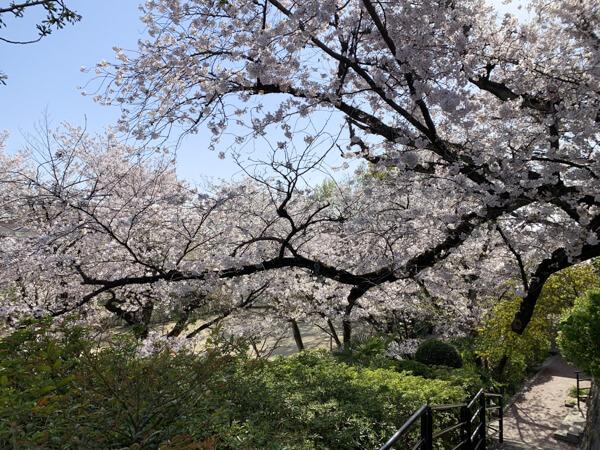 桜 (25 – 25)