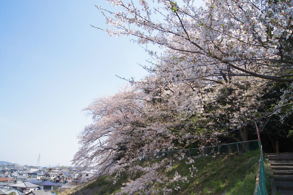 桜 (5 – 25)