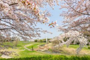 見上げて歩く、桜さんぽ。春の枚方のおすすめお花見名所【枚方まとめ】