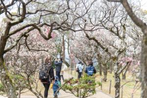 お散歩にオススメ!意賀美神社の梅林2021【枚方花見だより】