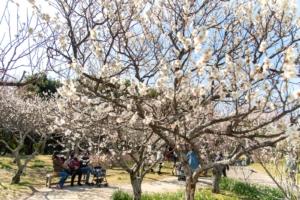 お花見ピクニックにオススメ!山田池公園の梅林2021【枚方花見だより】